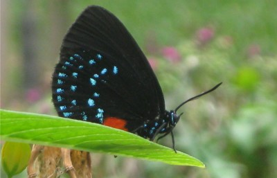 Atala-butterfly-at-BBC_clip-400x257