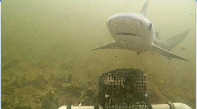 Shark in Joe Bay